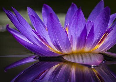 Photograph - Purple Waterlily Abstract by Jean Noren