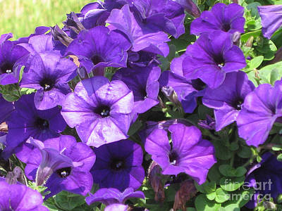Petunia Photograph - Purple Wave Petunias Close Up by Conni Schaftenaar