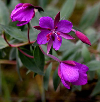 Photograph - Purple Wild Flowers by Robert Lozen