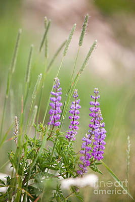 Photograph - Purple Wildflower And Grass In Sawtooth National Forest by Cindy Singleton