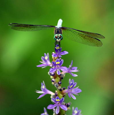 Photograph - Purple Wildflower Dragonfly 1 by Sheri McLeroy