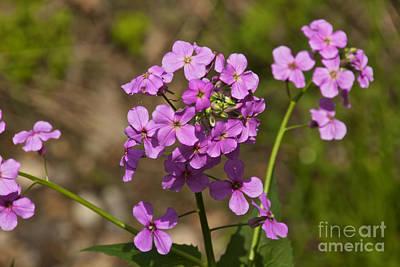Photograph - Purple Wildflowers by William Norton