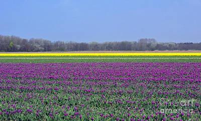 Photograph - Purple With Golden Lining. Fields Of Tulips Series by Ausra Huntington nee Paulauskaite