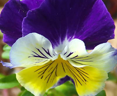 Close-up Photograph - Purple Yellow Pansies 2 by Cathy Lindsey