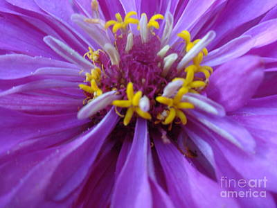 Photograph - Purple Zinnia by Rod Ismay