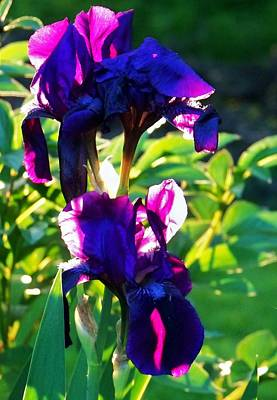 Photograph - Purplr Iris Shines by Al Fritz