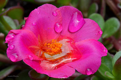 Purslane Flower In The Rain Art Print by Sandi OReilly
