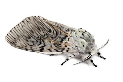 Puss Photograph - Puss Moth by Alex Hyde