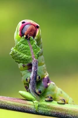 Puss Photograph - Puss Moth Caterpillar by Alex Hyde