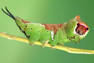 Puss Photograph - Puss Moth Caterpillar by Tomasz Litwin