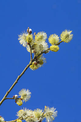 Pussy Willow Blooms Photograph - Pussy Willow Catkins by Chris Smith