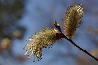 Photograph - Pussy Willow by Julie Grandfield