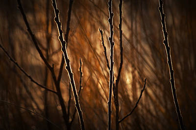 Photograph - Pussy Willows In The Warm Sunlight by Randall Nyhof
