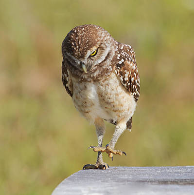Burrowing Owl Wall Art - Photograph - Put Your Best Foot Forward by Kim Hojnacki