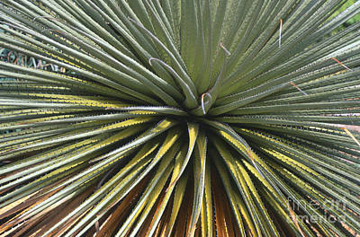 When Life Gives You Lemons - Puya Raimondii by Chris Selby