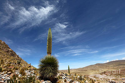 Puya Raimondii The Queen Of The Andes Art Print by James Brunker
