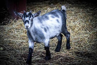 Pygmy Goat Art Print