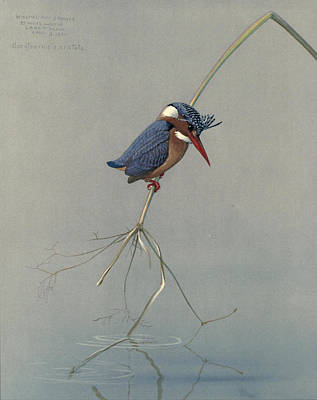 Kingfisher Painting - Pygmy Kingfisher by Rob Dreyer