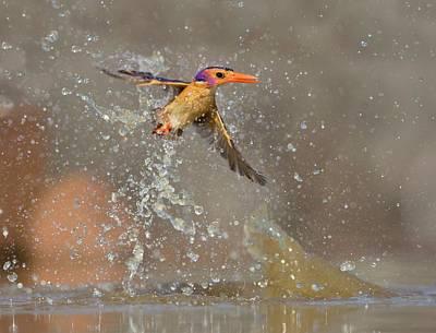 Pygmy Photograph - Pygmy Kingfisher Taking A Splash Bath by Tony Camacho