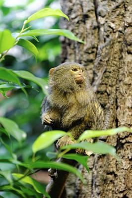 Pygmy Photograph - Pygmy Marmoset by Heiti Paves
