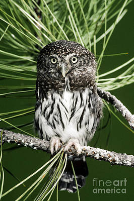 Pygmy Owl Wall Art - Photograph - Pygmy Owl by Anthony Mercieca