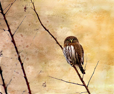 Photograph - Pygmy Owl - The Watcher by Peggy Collins
