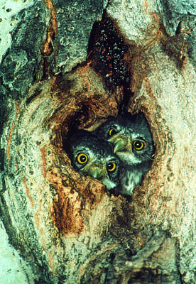 Pygmy Owl Wall Art - Photograph - Pygmy Owls (glaucidium Gnoma) In Nest Hole In Tree by William Ervin/science Photo Library
