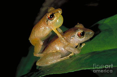 Eleutherodactylus Photograph - Pygmy Rain Frogs Mating by Gregory G. Dimijian