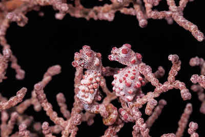 Photograph - Pygmy Seahorse Pair by J Gregory Sherman