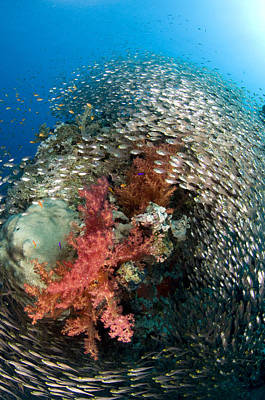 Fish Underwater Photograph - Pygmy Sweeper School Red Sea Egypt by Dray van Beeck
