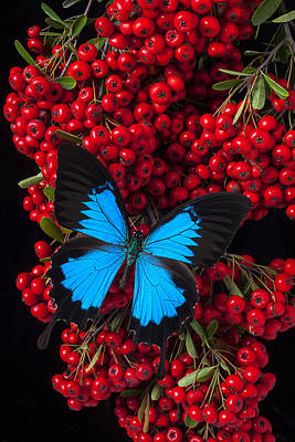 Pyracantha And Butterfly Art Print by Garry Gay