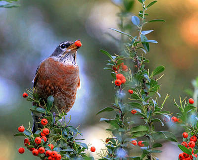 American Robin Photograph - Pyracantha Dreams by Donna Kennedy