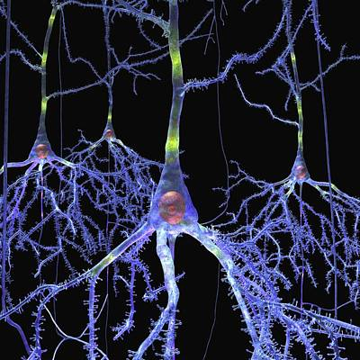 Physiology Photograph - Pyramidal Cells In The Brain by Russell Kightley