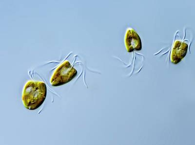 Unicellular Photograph - Pyramimonas Green Algae by Gerd Guenther