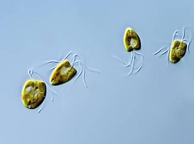 Pyramimonas Green Algae Art Print by Gerd Guenther