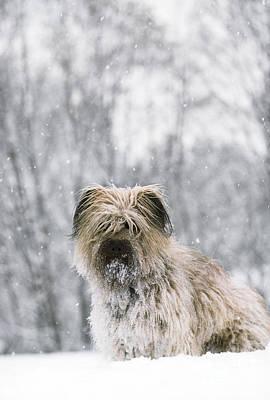 Dog In Snow Photograph - Pyrenean Shepherd Dog by Jean-Paul Ferrero