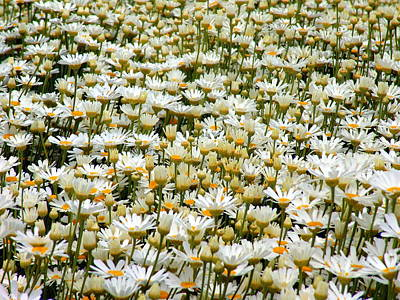 All You Need Is Love - Pyrethrum in Tasmania by Jeri lyn Chevalier
