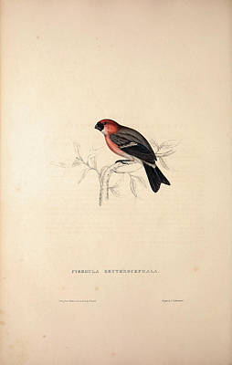 Asian Artist Drawing - Pyrrhula Erythrocephala, Red-headed Bullfinch. Birds by Quint Lox