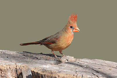 Photograph - Pyrrhuloxia by Alan Lenk