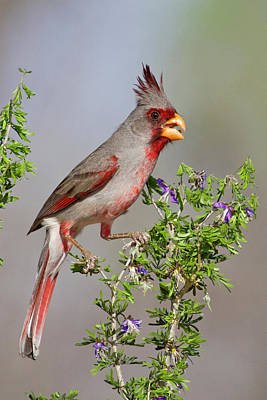 Starr Photograph - Pyrrhuloxia (cardinalis Sinuatus by Larry Ditto