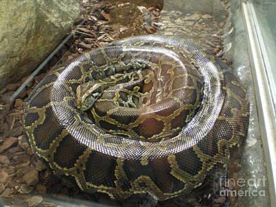 Photograph - Python by Ann Fellows