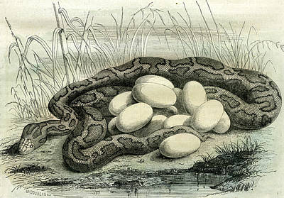 Python Drawing - Python Paris Museum France 19th Century by French School