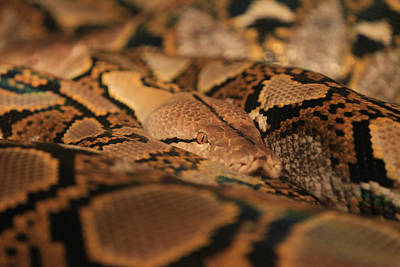 Photograph - Python by Pete Federico
