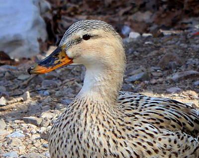 Photograph - Quackers by Joseph Skompski