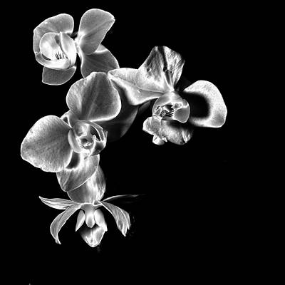 Photograph - Quad Orchids  by Ron White