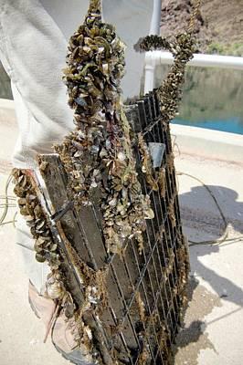 Quagga Mussels Art Print by Us Bureau Of Reclamation/andy Pernick