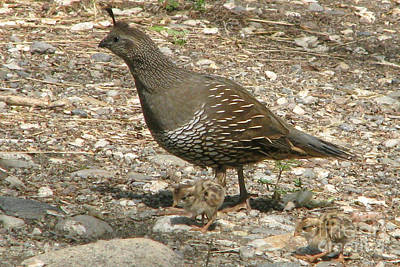Photograph - Quail Family by Frank Townsley