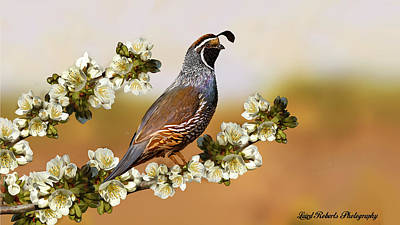 Quail In Cherry Tree Art Print by Laird Roberts