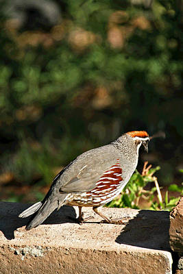 Photograph - Quail by Matalyn Gardner