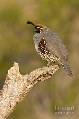 Quail On A Stick Art Print by Bryan Keil